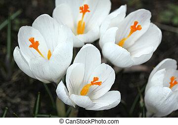 flores blancas, azafrán