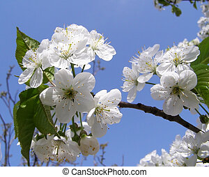 flores blancas, cherry-tree