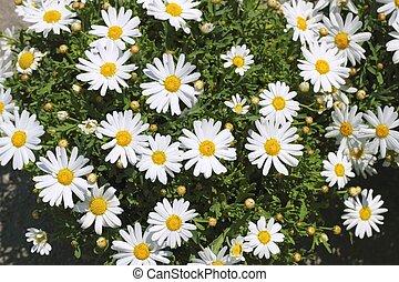 flores blancas, jardín, amarillo, margarita