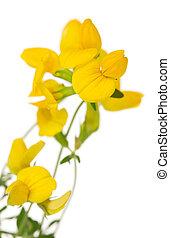 flores blancas, primer plano, toadflax, aislado