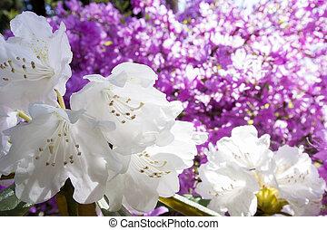 flores blancas, rododendro