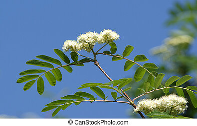 flores blancas, rowan, cierre, en, brillante, soleado, tiempo