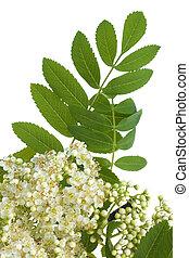 flores blancas, rowan