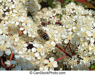 flores brancas, abelha