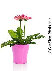 flores côr-de-rosa, gerber