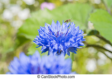 flores, campo, verão, cornflowers