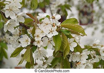 flores, cereza, flores blancas, primavera