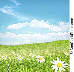 flores, chamomile, paisagem