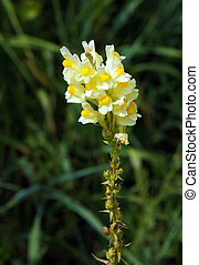 flores, común, toadflax