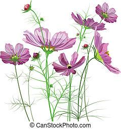 flores, cosmos, vector, jardín