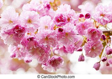 flores de cerezo, en, primavera, cerezo