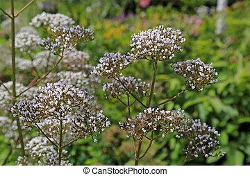 flores, de, officinalis valeriana, planta