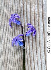 flores del resorte, hyacints, cicatrizarse, dof