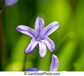 flores del resorte, hyacints, cicatrizarse