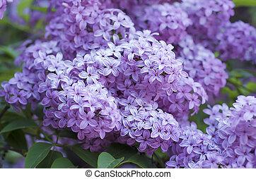 flores del resorte, lila