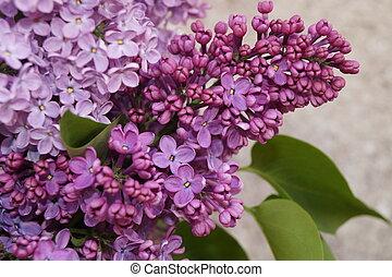 flores del resorte, -, lila