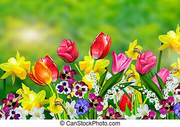 flores del resorte, narcisos, y, tulipanes