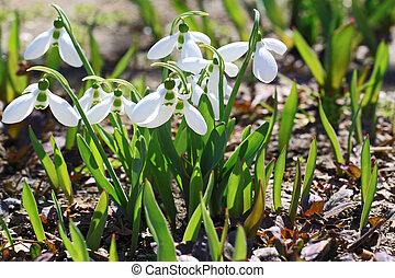 flores del resorte, snowdrops, galanthus, nivalis