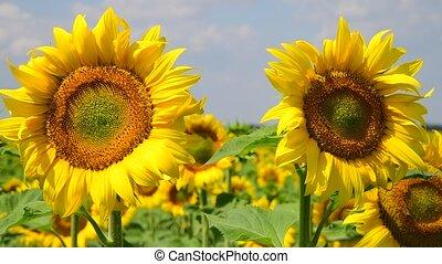 flores, dia ensolarado, girassol