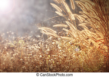 flores doradas, luz, mala hierba, foxtail, mañana, plano de...