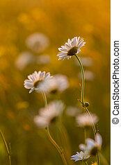 flores, en, un, pradera, en, primavera