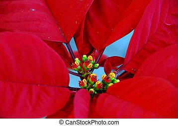 flores, flor de nochebuena, rojo, navidad