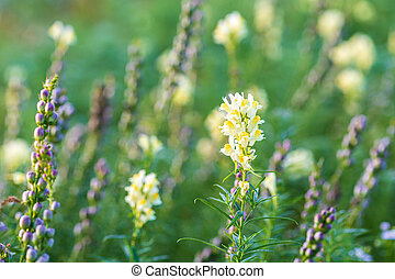flores, florecer, vulgaris, o, salvaje, toadflax, campo, amarillo, linaria