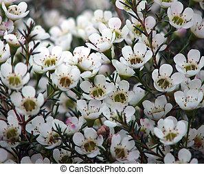 flores, -, geraldton, cera