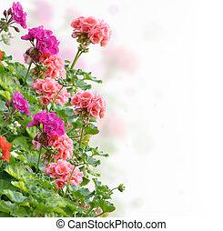 flores, geranio