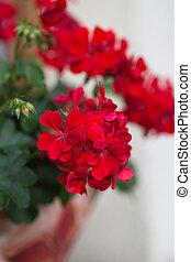 flores, geranio rojo, jardín