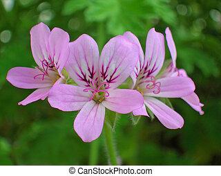 flores, geranio, rosa