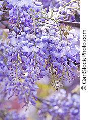 flores, glicina, primavera, sinensis