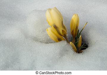 flores, grupo, neve, amarela, açafrão
