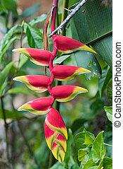flores, heliconia, panamá, amarillo rojo, colores