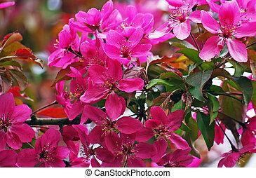 flores, jardín, pelargonium