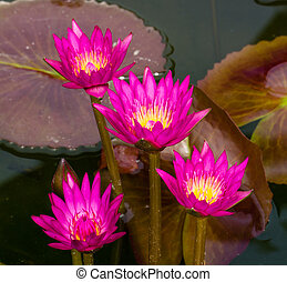 flores, loto, rosa, thailand.