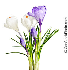 flores mola, açafrão