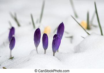 flores mola, açafrão, neve, estação