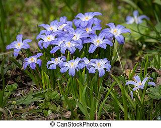 flores mola, algum, glory-of-the-snow