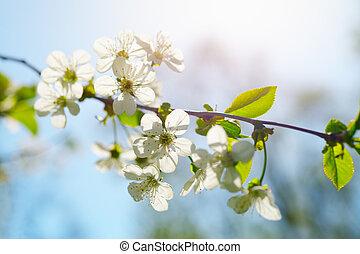 flores mola, dia ensolarado, cereja