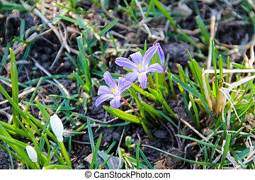 flores mola, glory-of-the-snow, luciliae), (chionodoxa