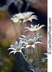 flores, nativo, blanco, franela, australiano