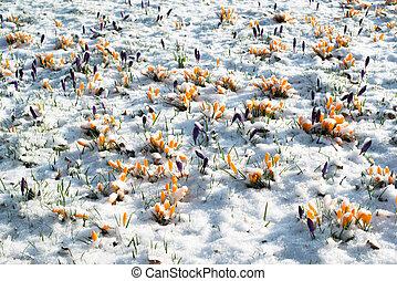 flores, neve, açafrão