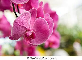 flores, orquídea, violeta