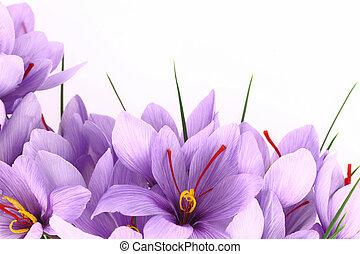 flores púrpuras, bandera, azafrán, azafrán