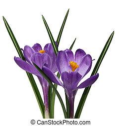 flores púrpuras, dos, azafrán