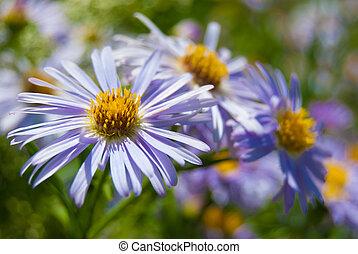 flores púrpuras, en, pradera