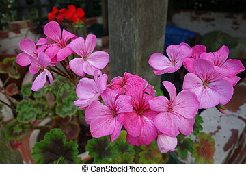 flores, pelargonium, rosa