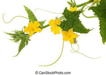 flores, pepino