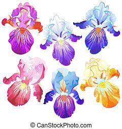 flores, plano de fondo, multicolor, aislado, iris, blanco